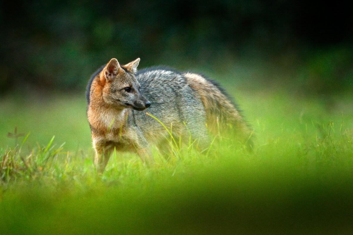 Uma raposa comedora de caranguejo entre a vegetação.