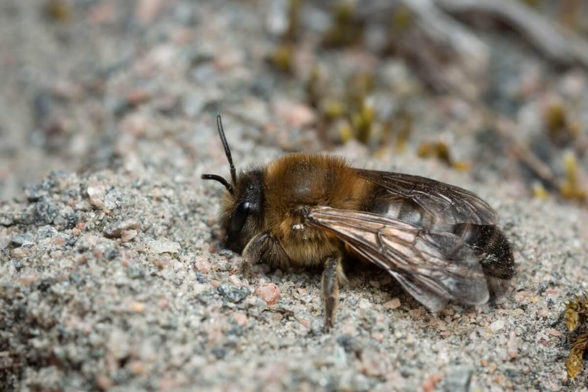 Unico nel suo genere di api su una pietra.
