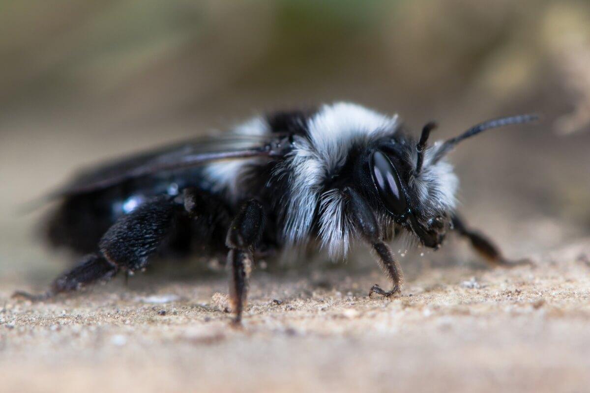 Un'ape della famiglia Andrenidae.
