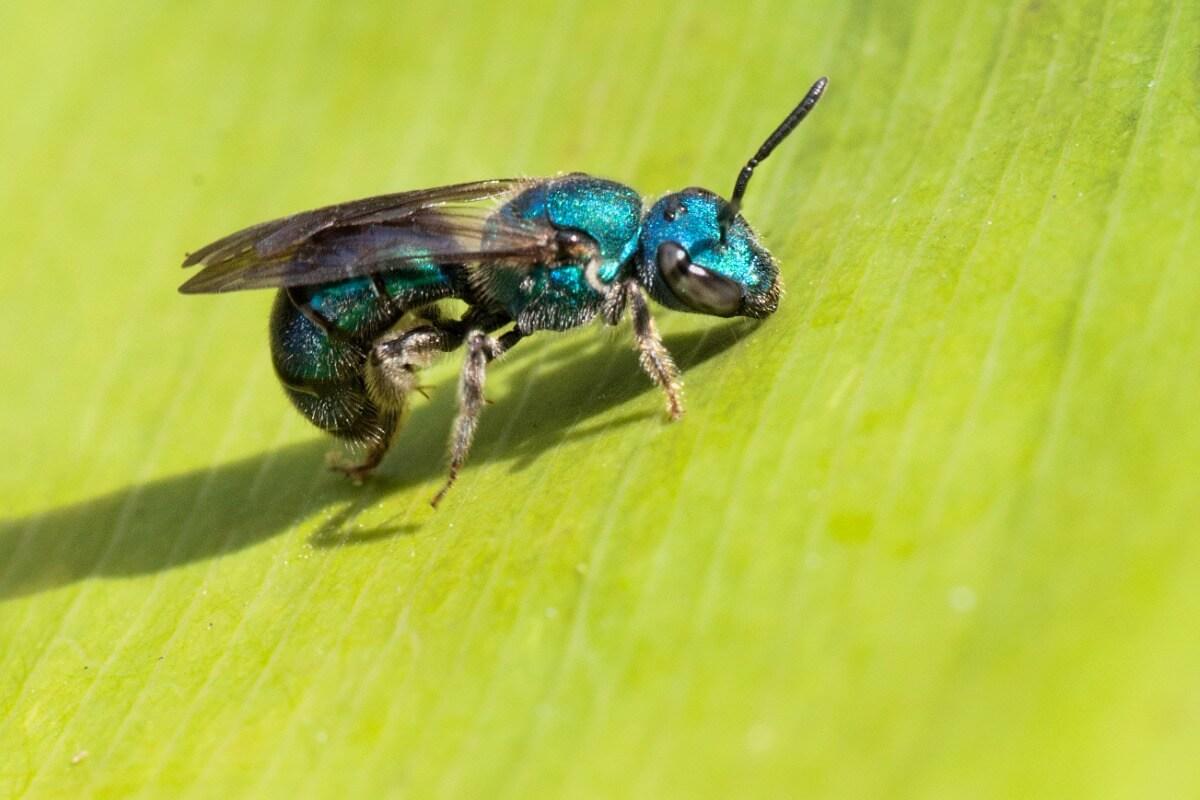 Un'ape su una foglia.