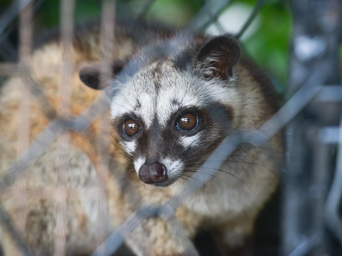 Uno degli animali simili a procioni.