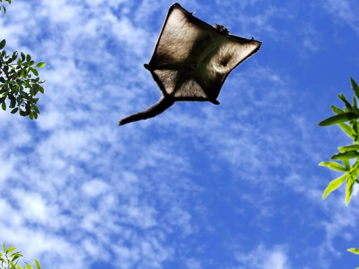 Una ardilla voladora vista desde arriba.