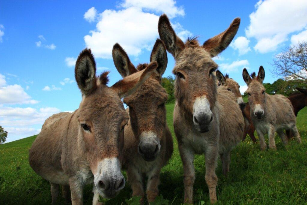 Comportamiento de los burros