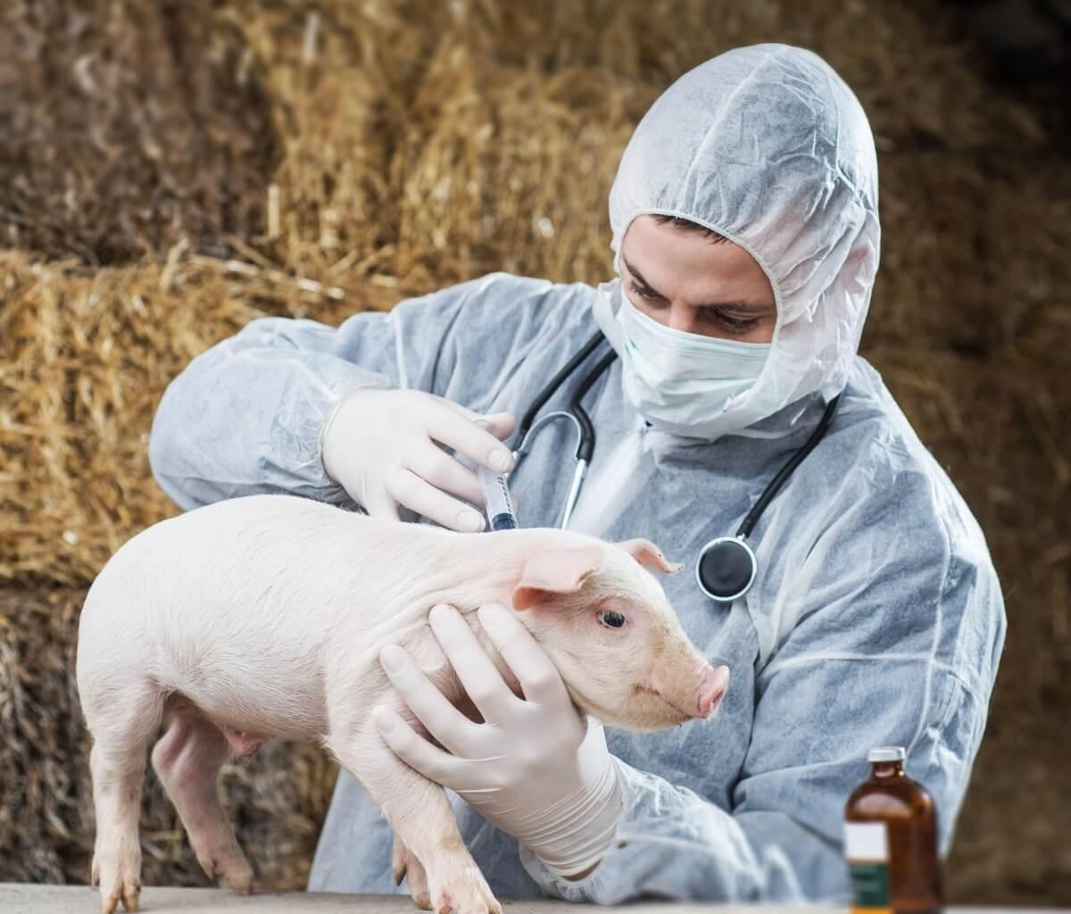El mal rojo en cerdos puede tener muchas causas.