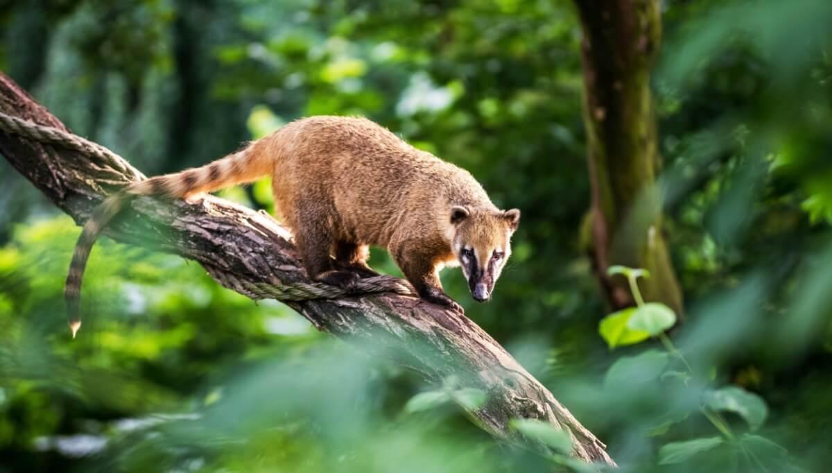 Il coati è un animale simile al procione.