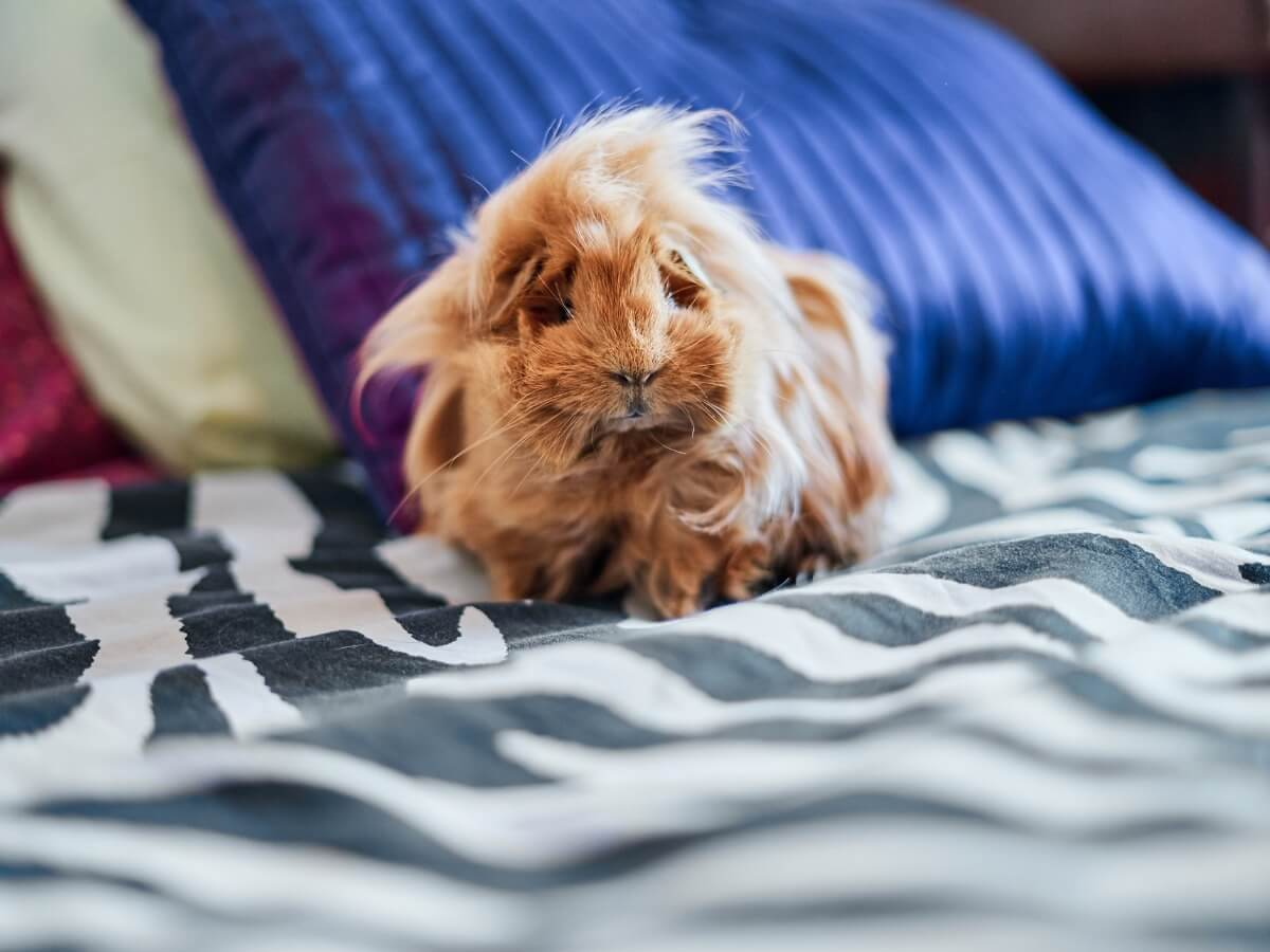 The hairstyle of a coronet guinea pig.