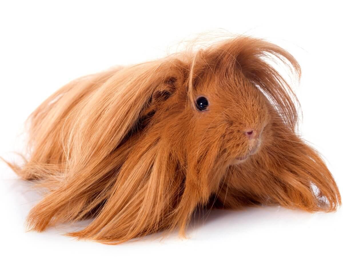 One of the Peruvian guinea pigs.