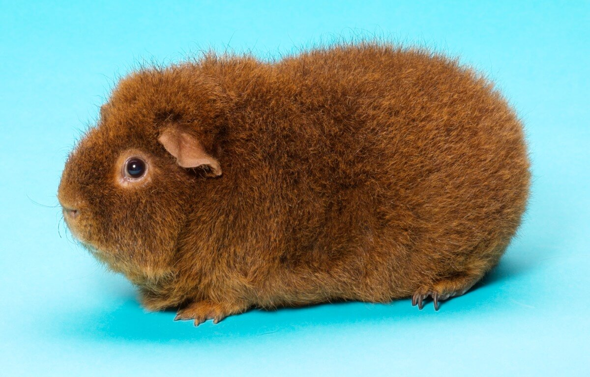 One of the rex guinea pigs.