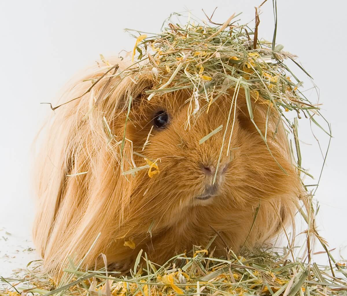 A sheltie guinea pig on hay.