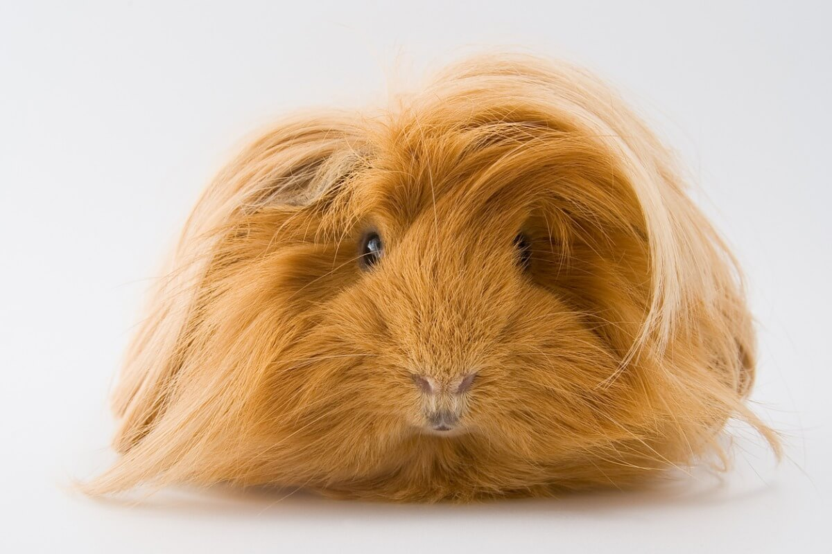A Sheltie guinea pig looks at the camera.