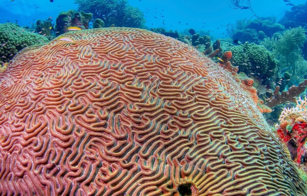Ett sorts koraller.