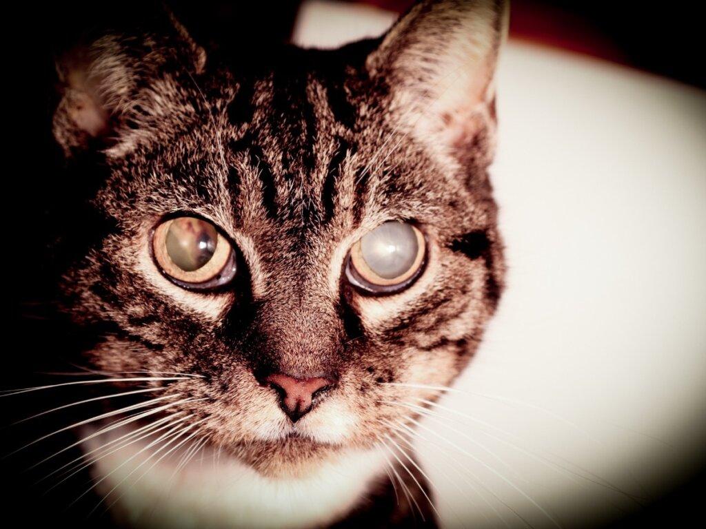 Cataratas en gatos: síntomas y tratamientos