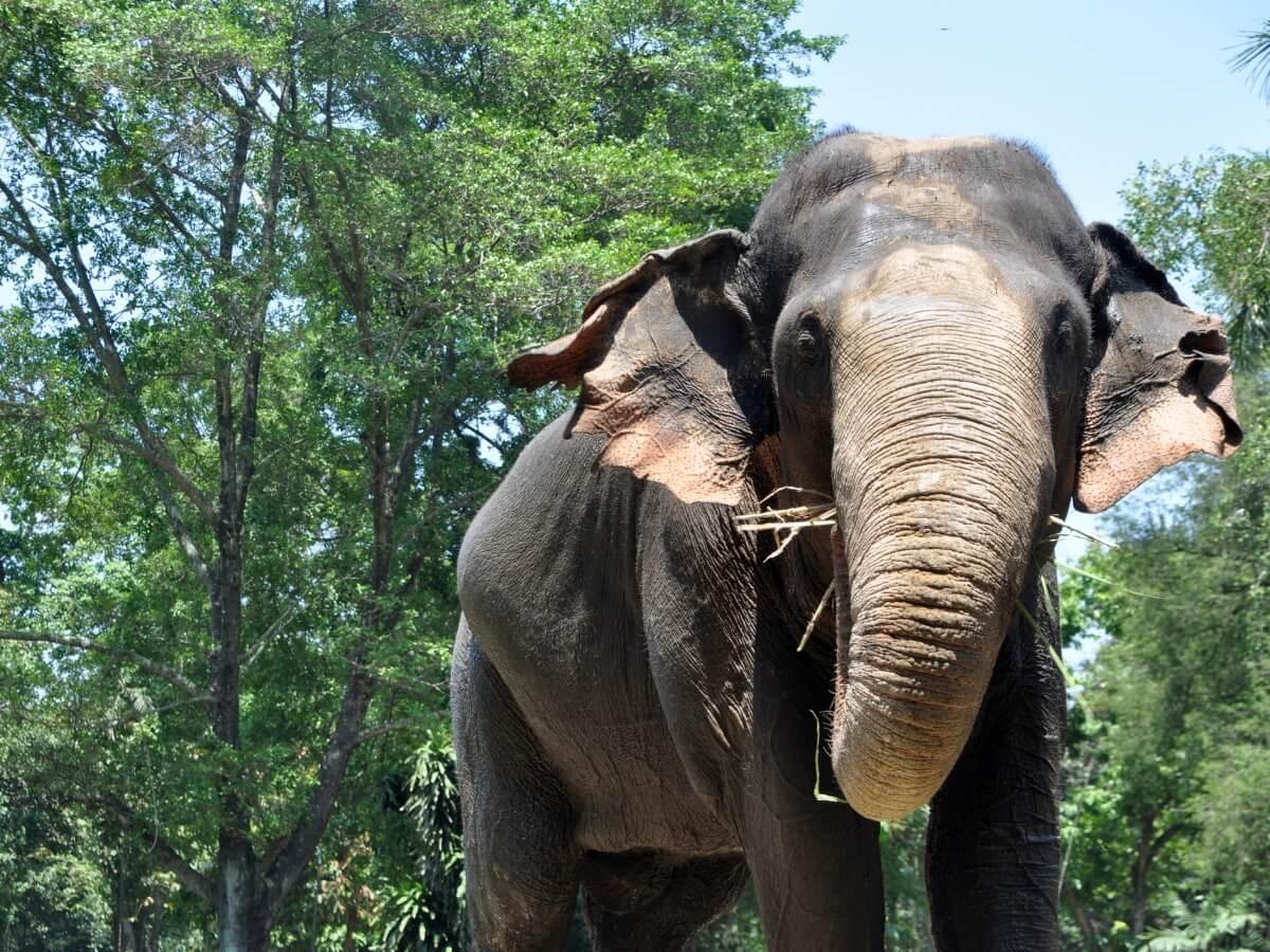 Un elefante de Sumatra de tamaño grande.
