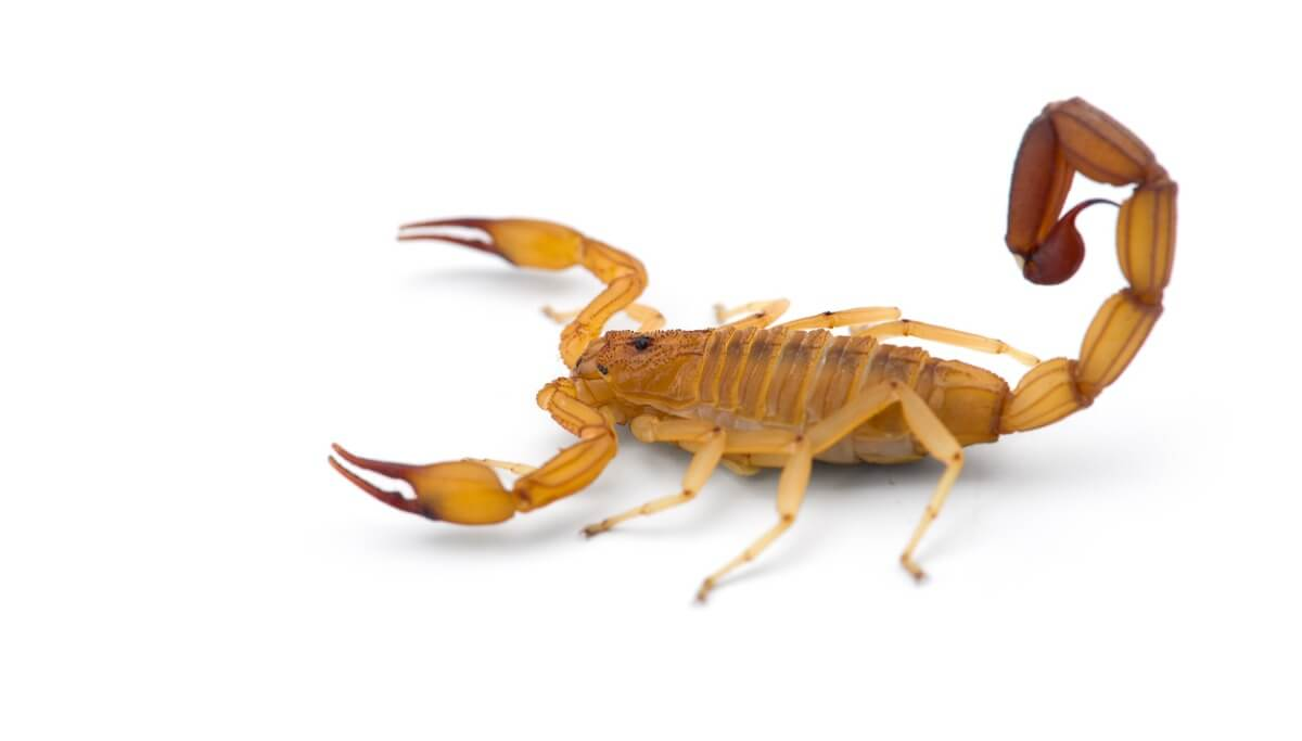 An Arizona bark scorpion on a white background.
