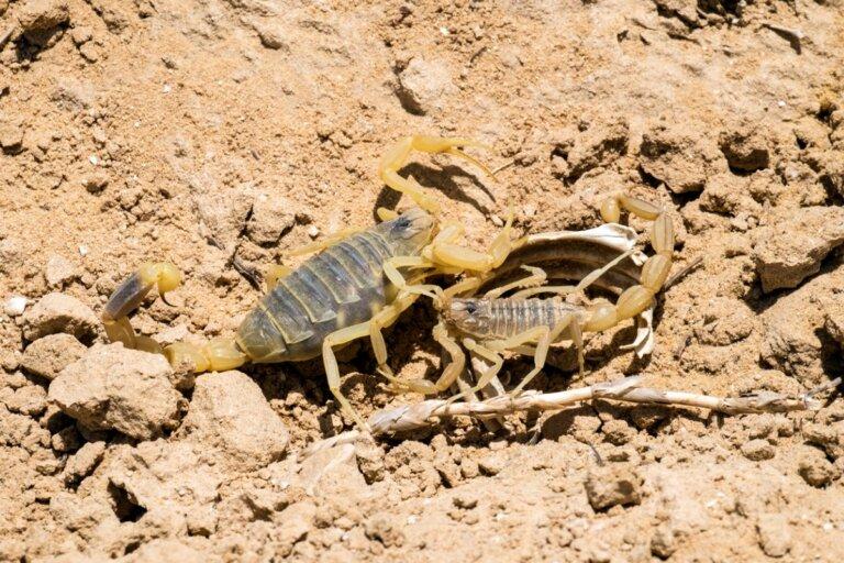 Escorpión palestino amarillo: uno de lo más venenosos del mundo