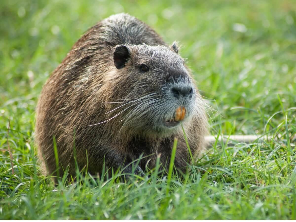 A false otter on the grass.