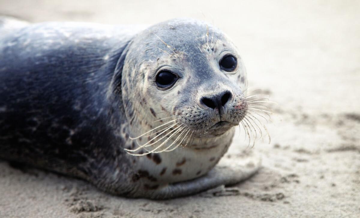 Una de las especies de focas más famosa.