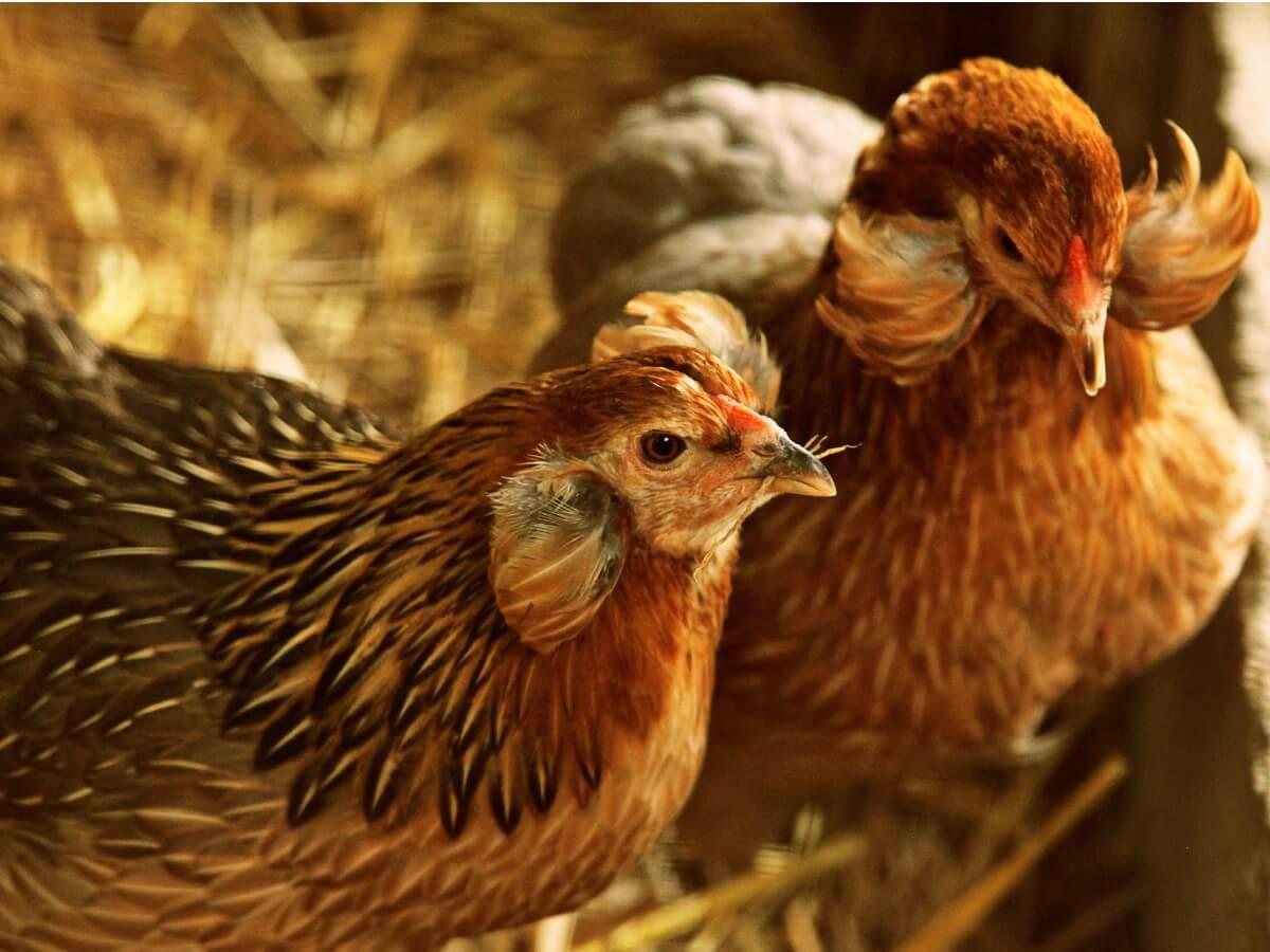 ¿Conoces el comportamiento de las gallinas?