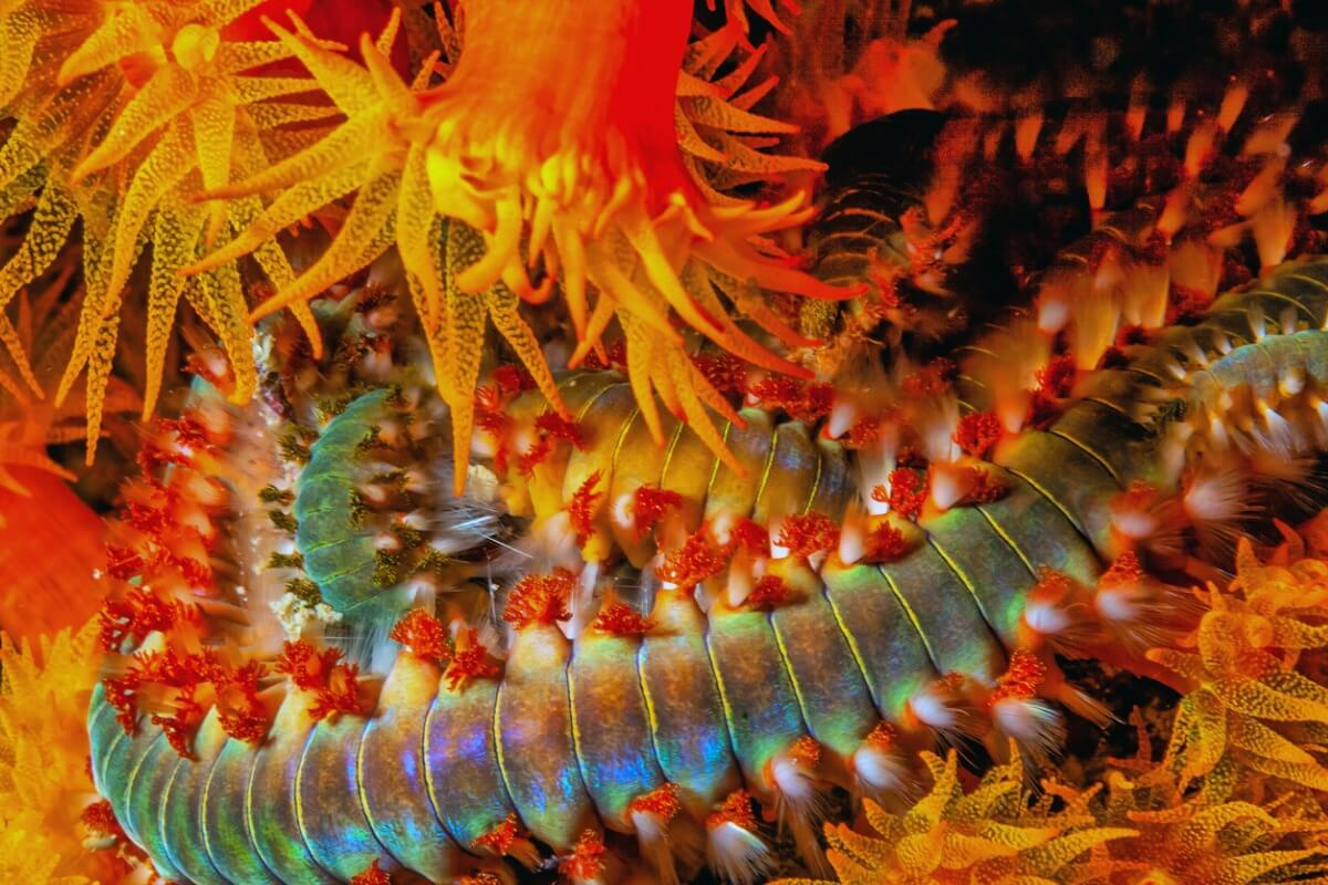 A marine worm with the ability to produce light.
