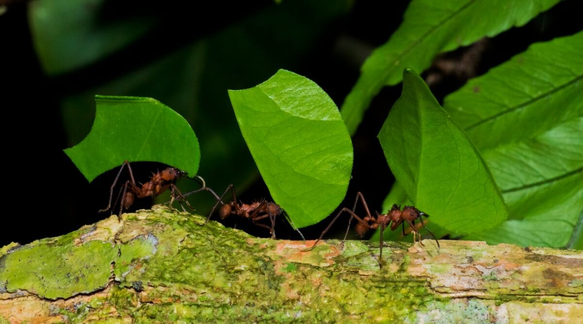 Some culona ants transport the leaves to the anthill.