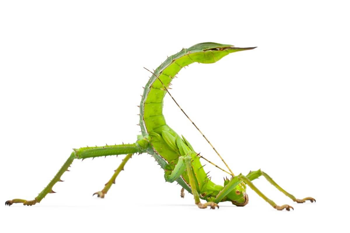 Un insetto stecco in posizione di difesa.