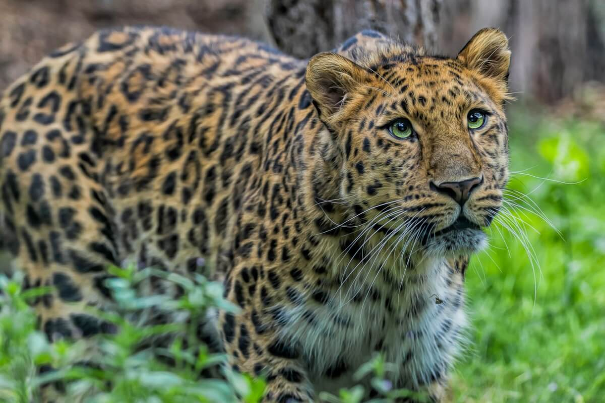 Un leopardo de Amur posando en la maleza.