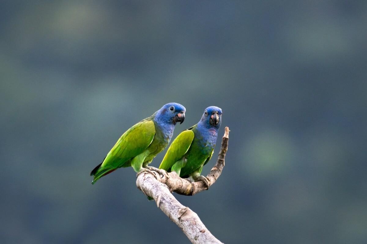 Un paio di pappagalli.