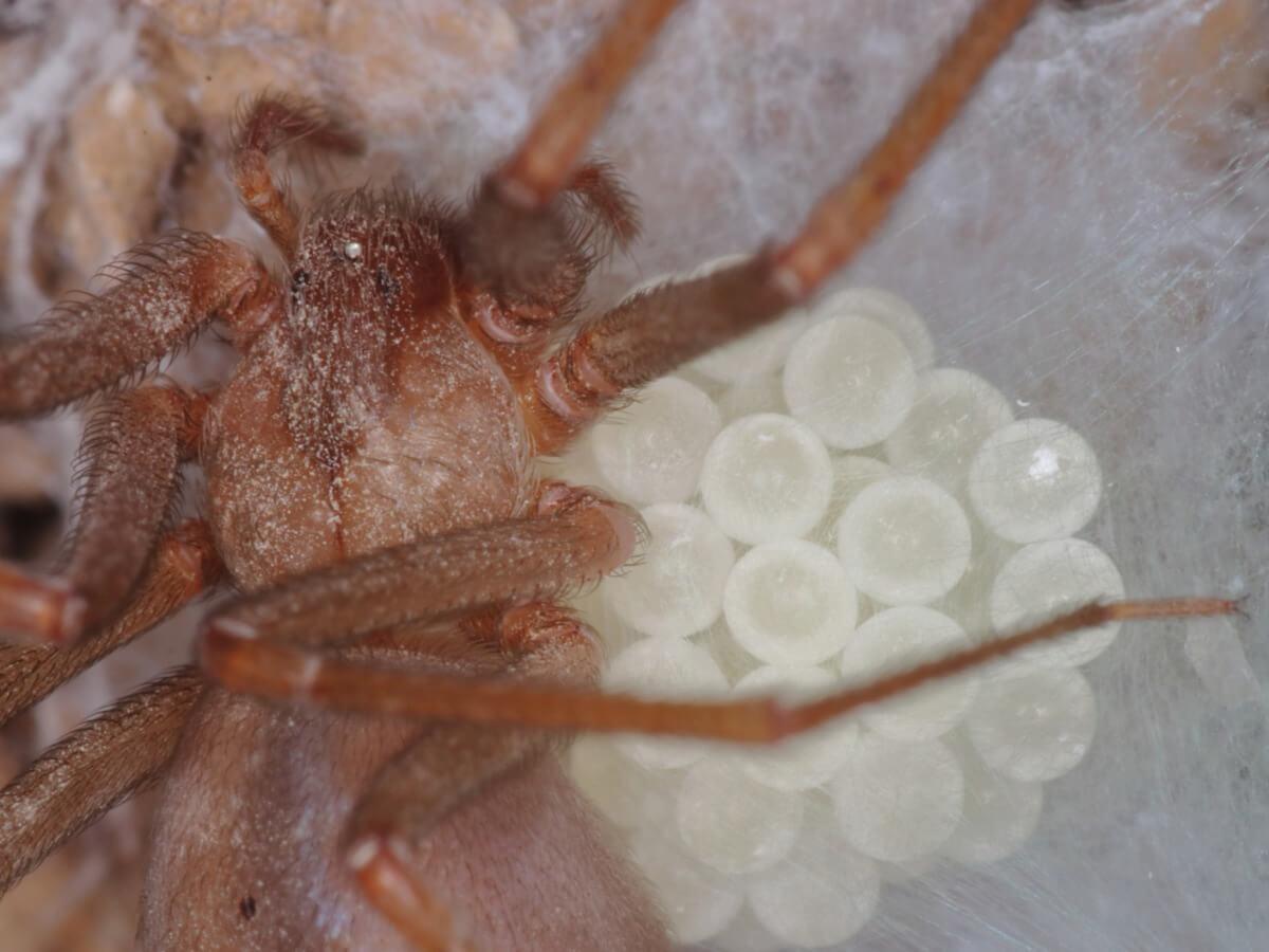 Un ragno violinista con molte uova.