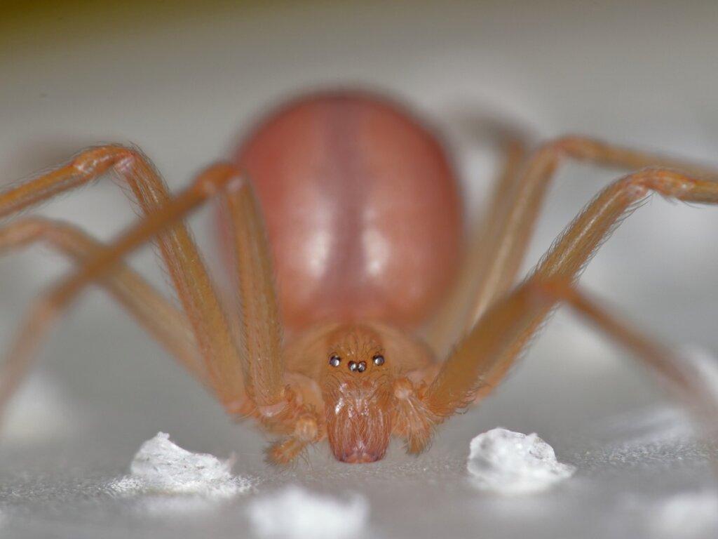 Araña violinista: hábitat y características