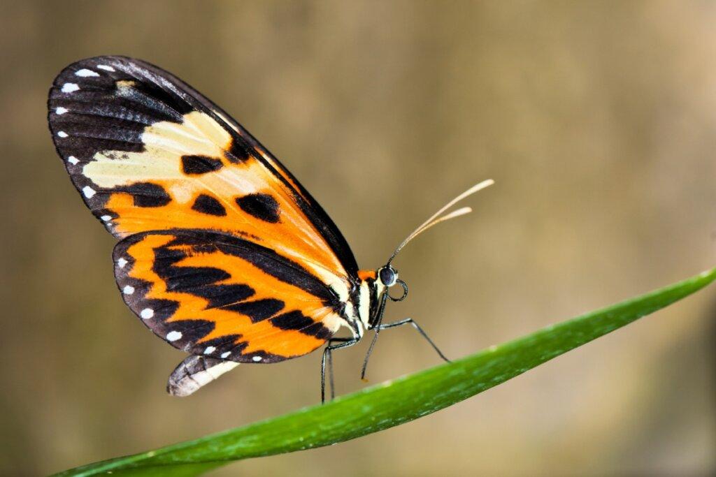 ¿Las mariposas pueden cambiar el color de sus alas?