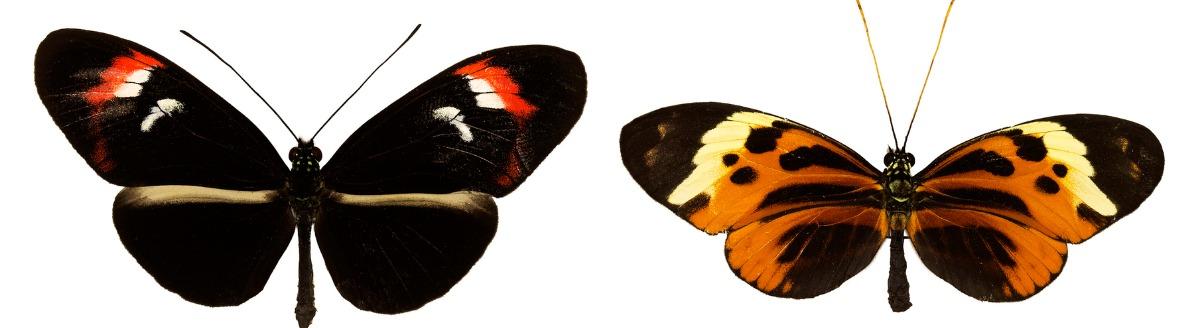 Un par de mariposas con colores diferentes.