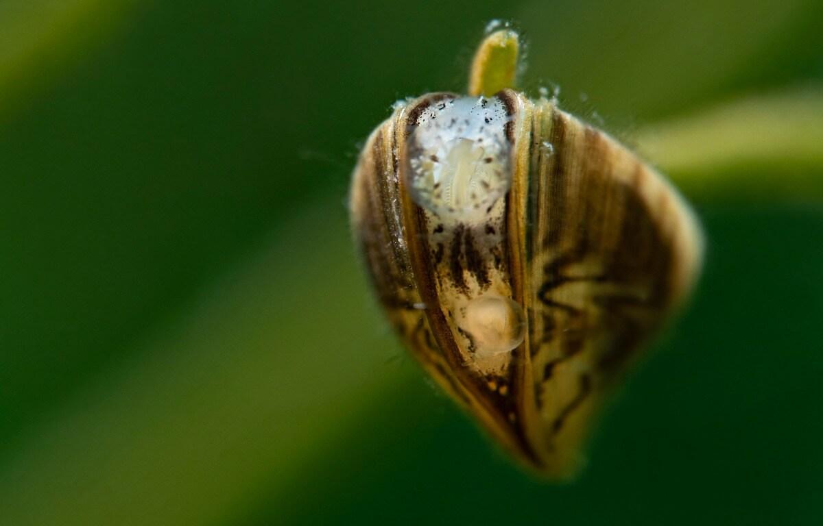 A zebra mussel glued to a leaf.