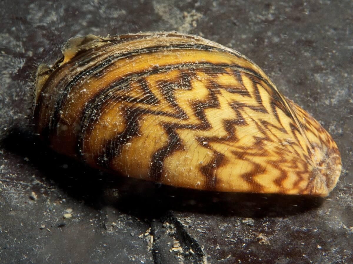 A zebra mussel on a stone.