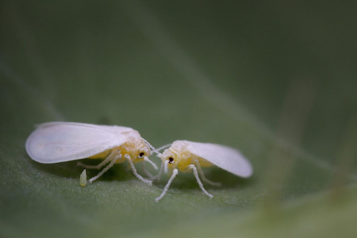 Una mosca bianca su una foglia. Uno degli animali che attaccano le colture agricole.