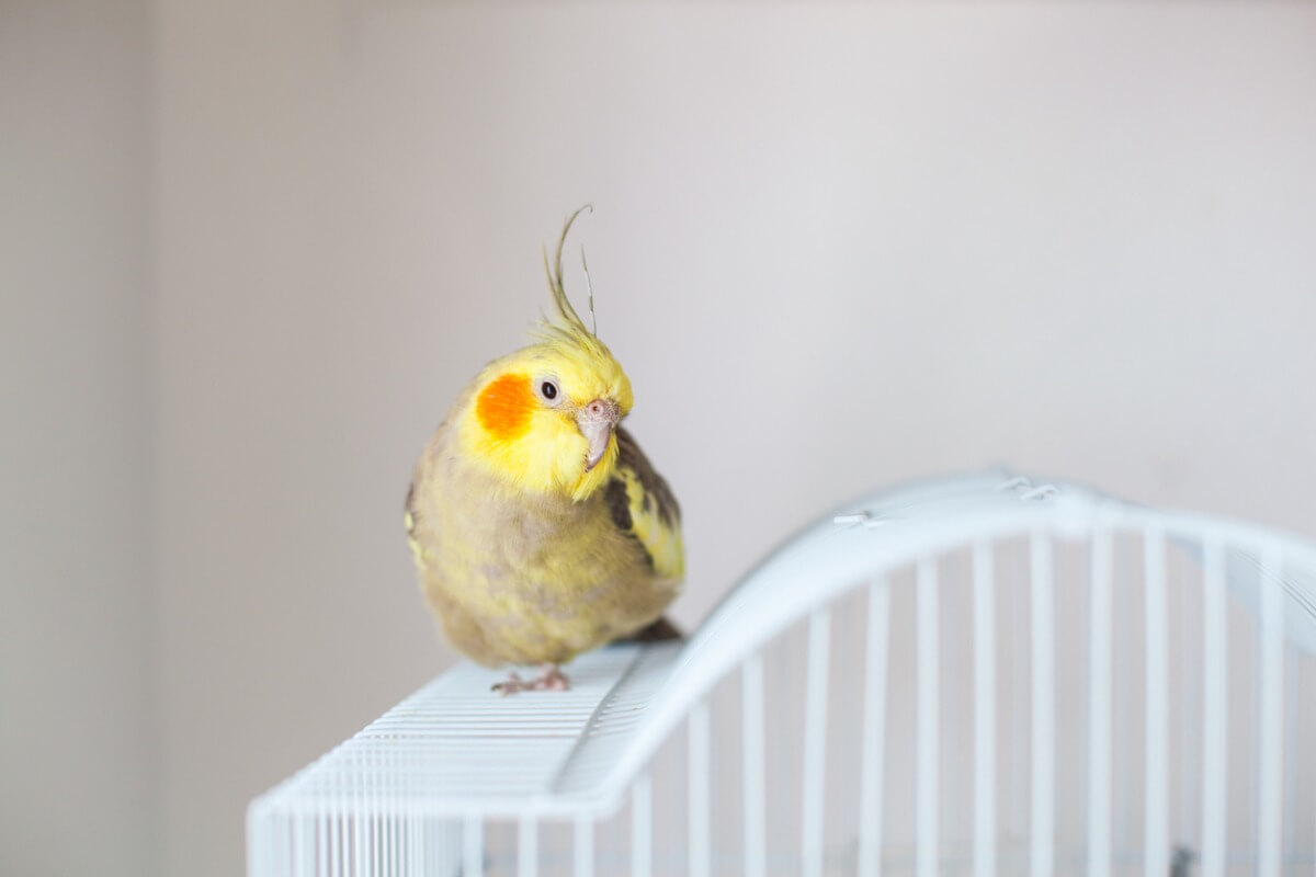 Une perruche nymphique sur une cage.