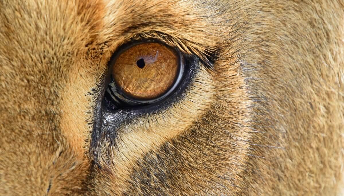 Il jagleón è un altro degli animali ibridi.