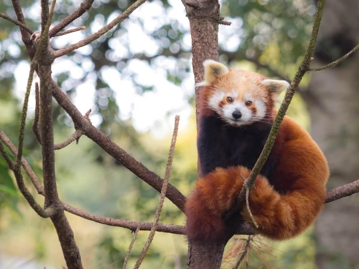 Un panda rosso che sembra un procione.