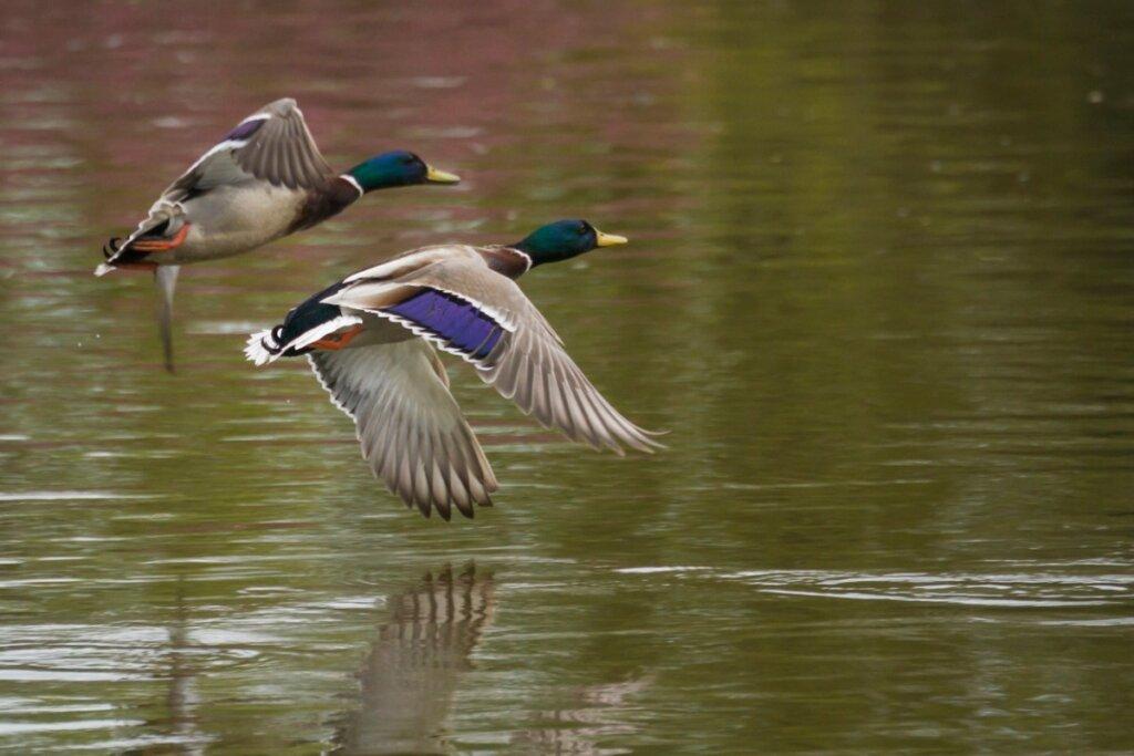 5 diferencias entre patos y gansos