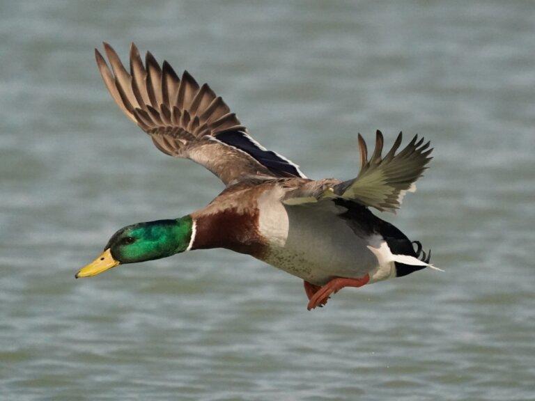¿Los patos pueden volar?