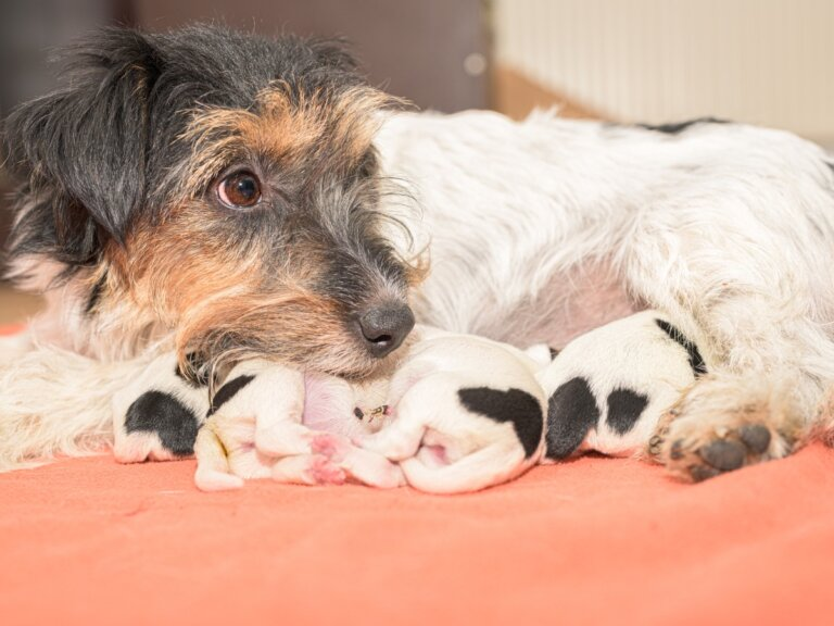 La alimentación de una perra después del parto