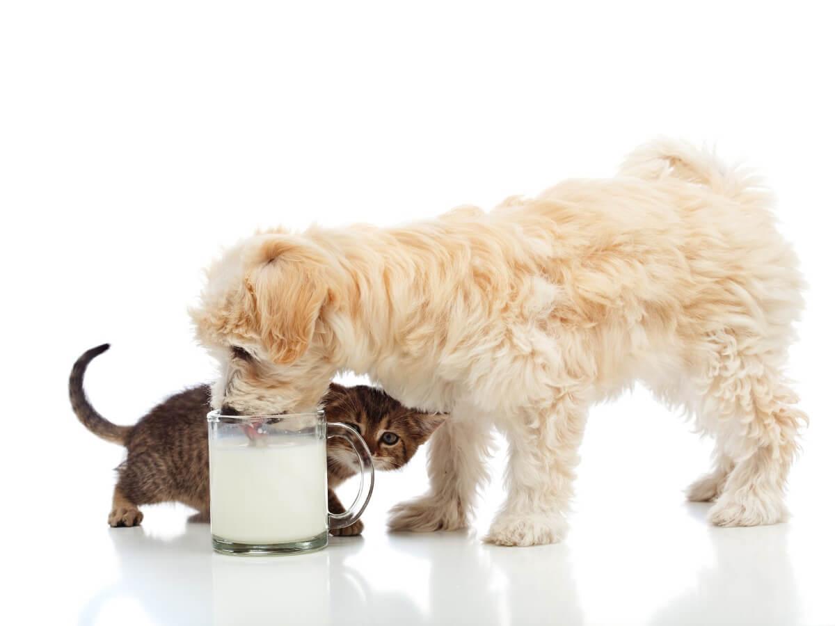 Un chien peut-il boire du lait ?