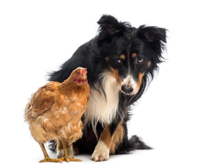 ¿Por qué mi perro ataca a las gallinas y cómo evitarlo?