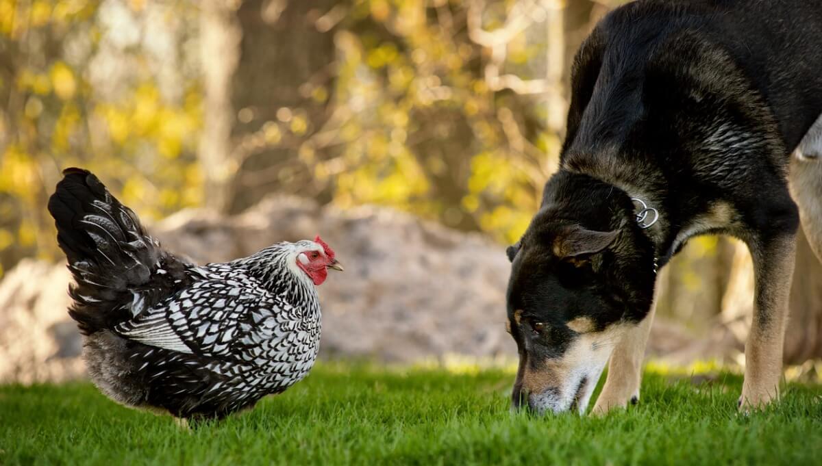 Un perro y una gallina se miran.