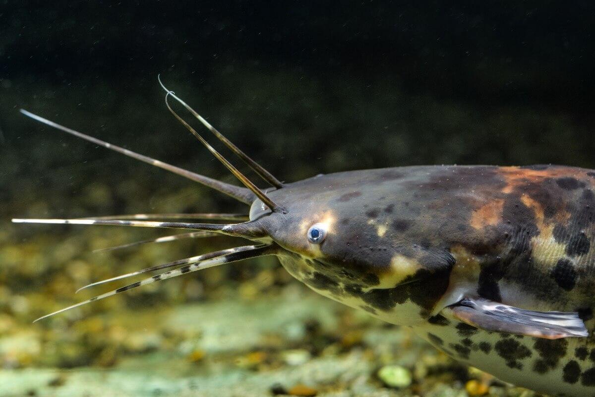 La faccia di un pesce gatto.