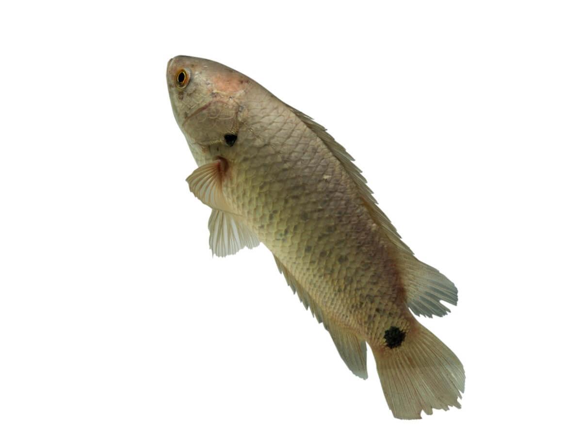 Un pesce rampicante su uno sfondo bianco. Pesci che respirano fuori dall'acqua.