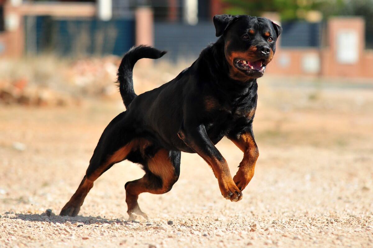 Un rottweiler corre por el campo.