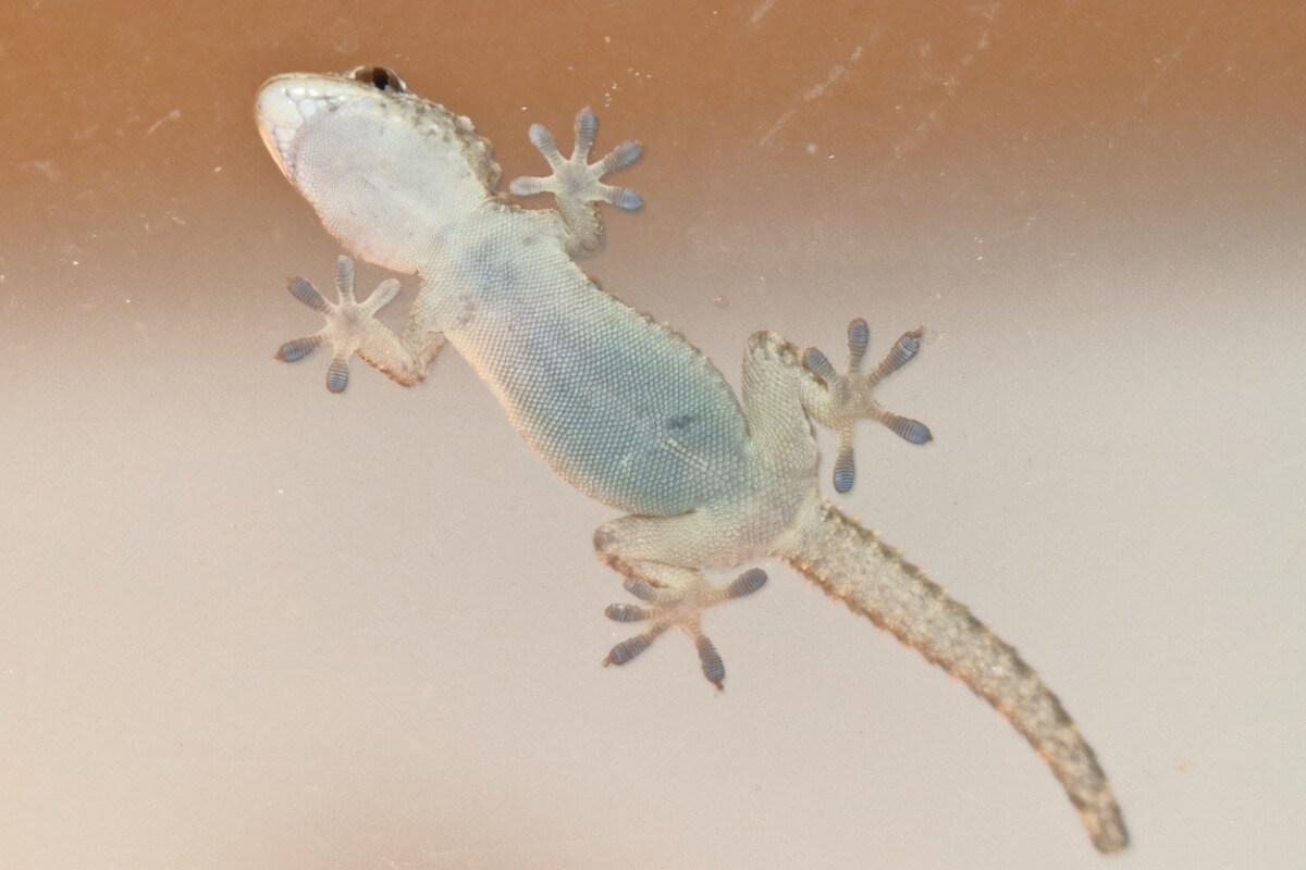 A gecko stuck to a glass.