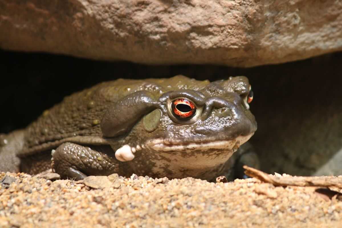One of the most poisonous toads.