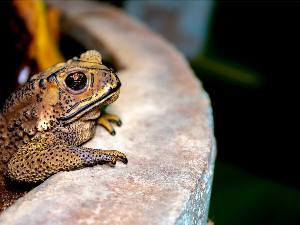 One of the poisonous toads on a fountain.
