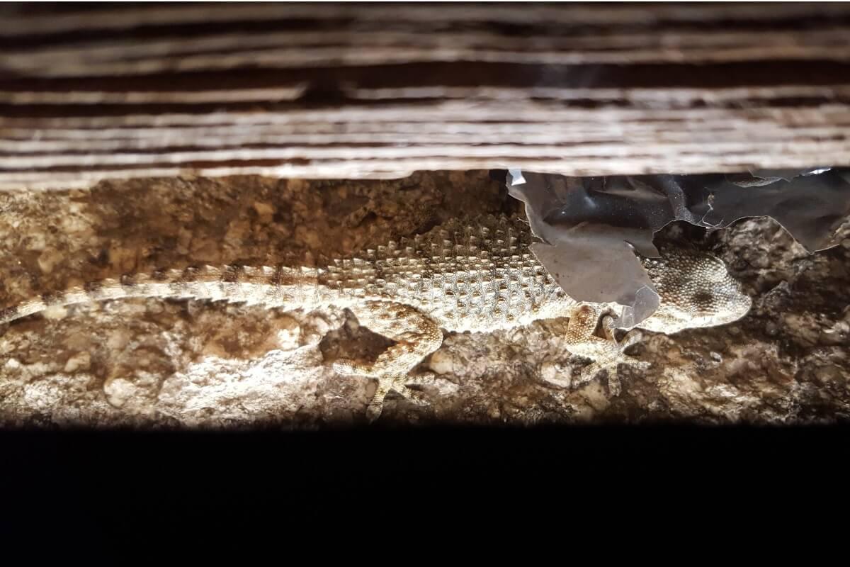 A gecko on a wall